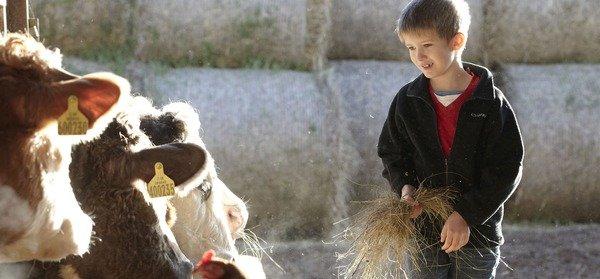 Boy_feeding_cow_6